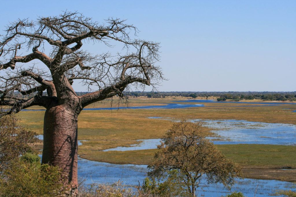 Huge baobab tree and view of the wide, meandering Chobe River at the border crossing between Botswana and Namibia.