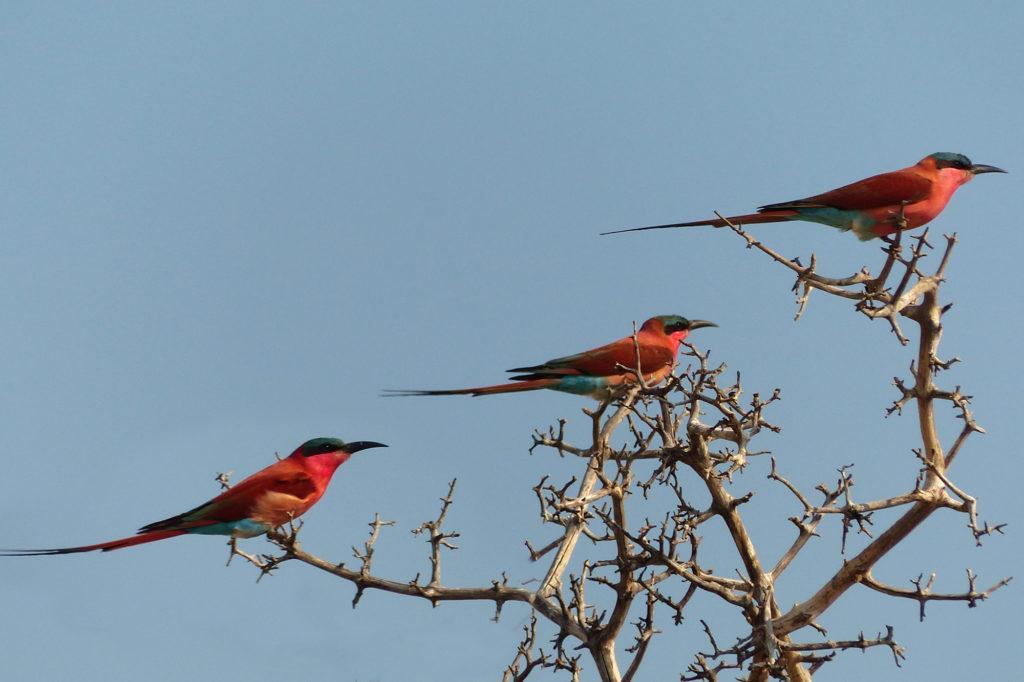 Three carmine bee-eaters in a tree in Chobe National Park, Botswana.