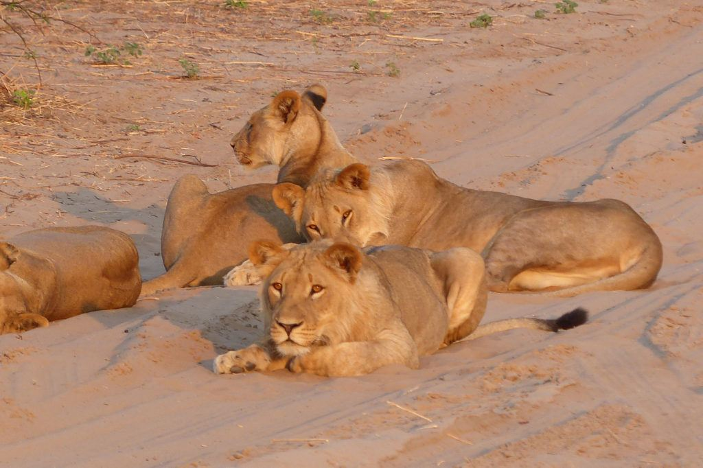 On a Chobe safari, we spotted this content looking pride of lions lying about in the sand.