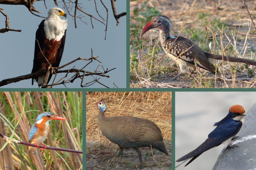 Photo collage of birds seen on a Chobe game drive, including a hornbill, African fish eagle, and malachite kingfisher.