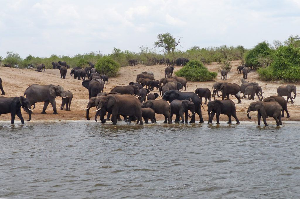 A few of the hundreds of elephants on the Chobe River.