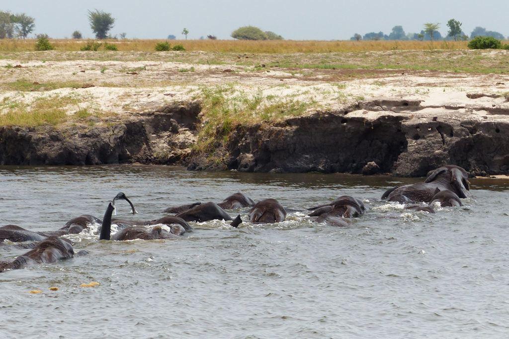 Elephants Swimming across the Chobe River, Botswana.
