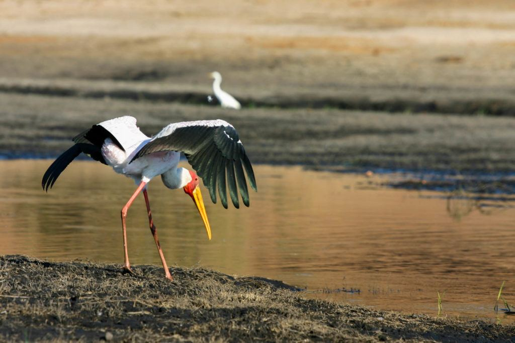 From our cruise boat, A Yellow billed stork on the Chobe River.