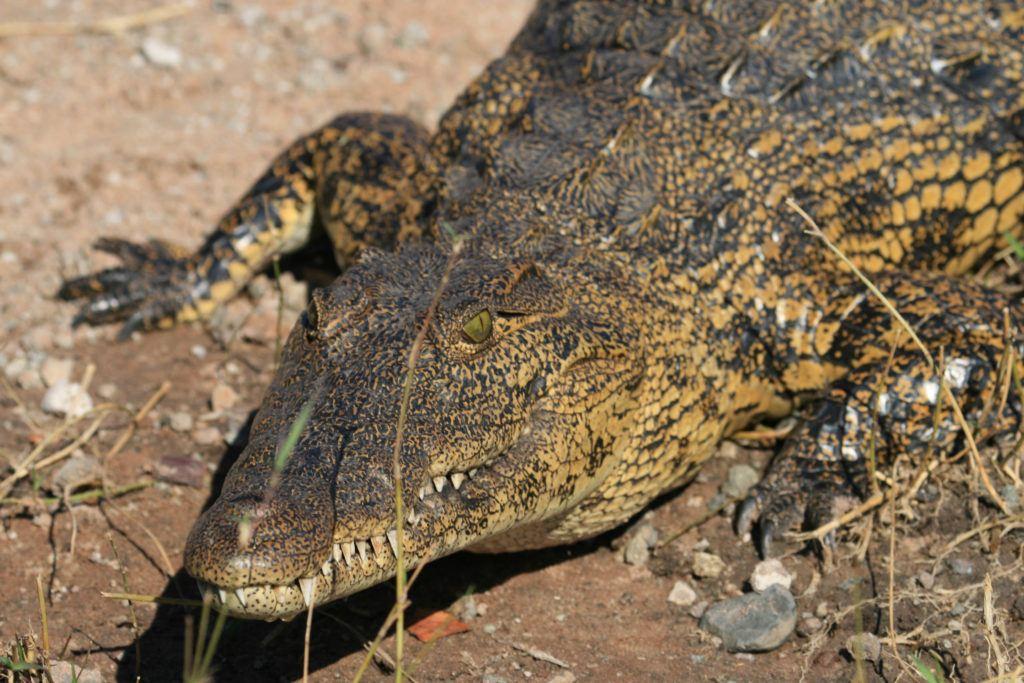 Right on the edge of the Chobe River, a menacing crocodile.