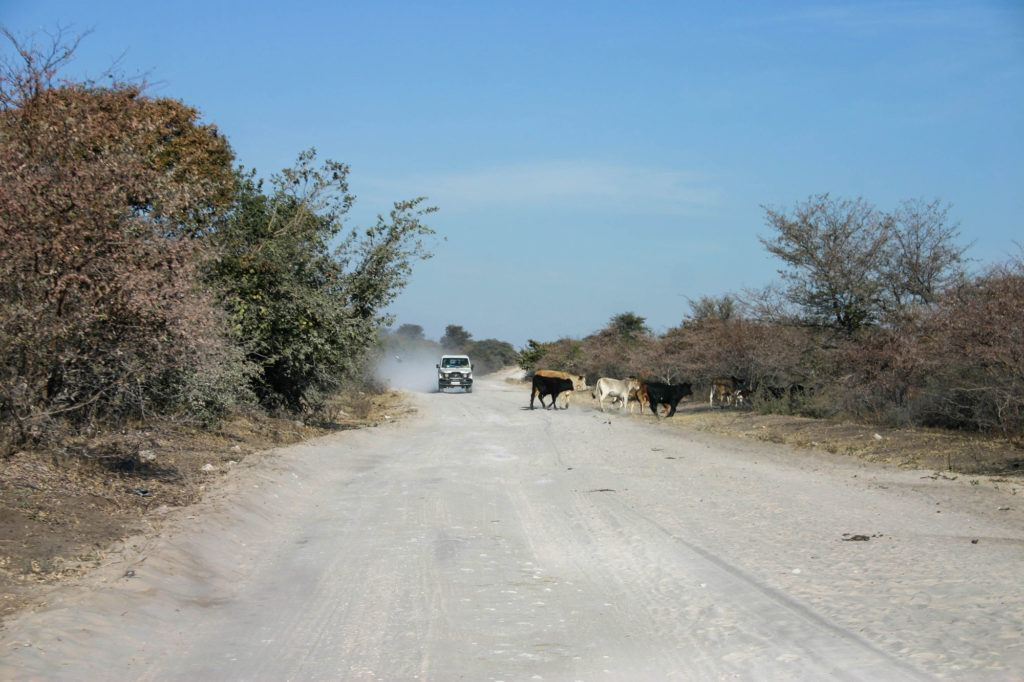 Watching and waiting while cows cross in front of us on a Botswana self-drive tour.