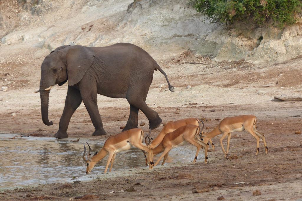 An elephant and four impalas share a drink from the Chobe River in Botswana.