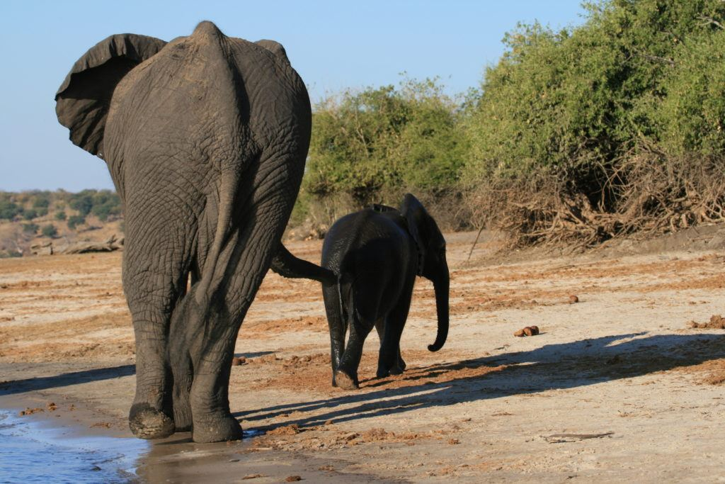 Elder and baby elephant climb out of the Chobe River.