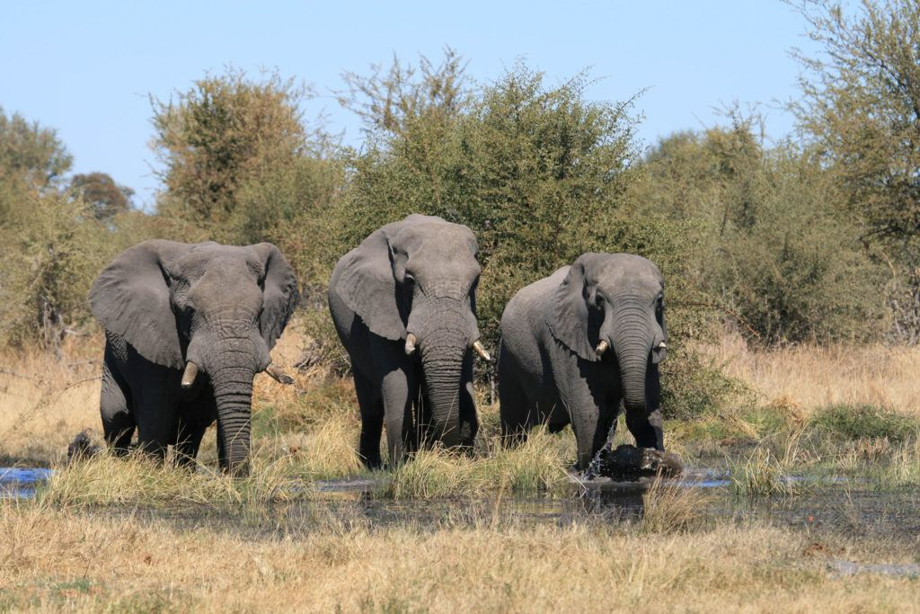 A trio of elephants drinking water in the Moremi Game Reserve.