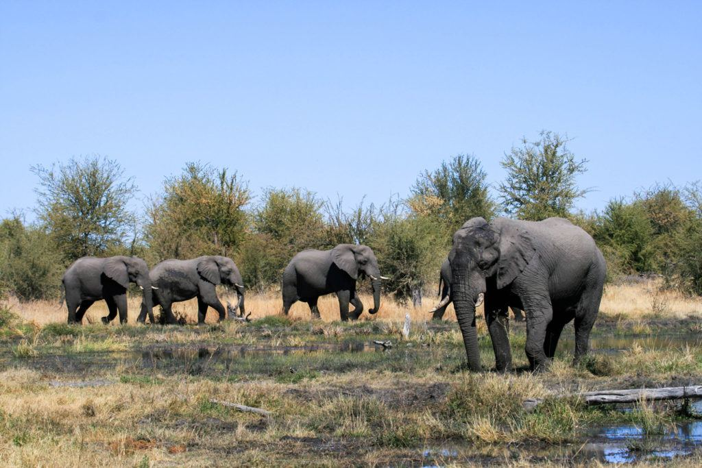 Elephants walking through a swampy, brushy area in the Moremi Game Reserve.