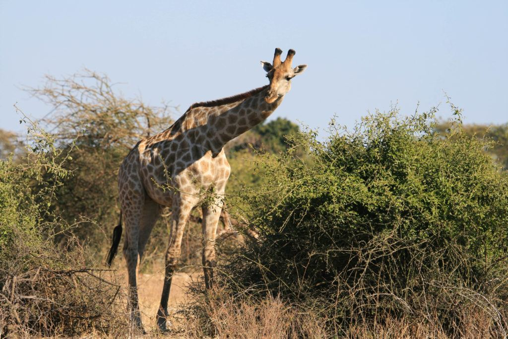 Giraffes were plentiful in Chobe National Park.