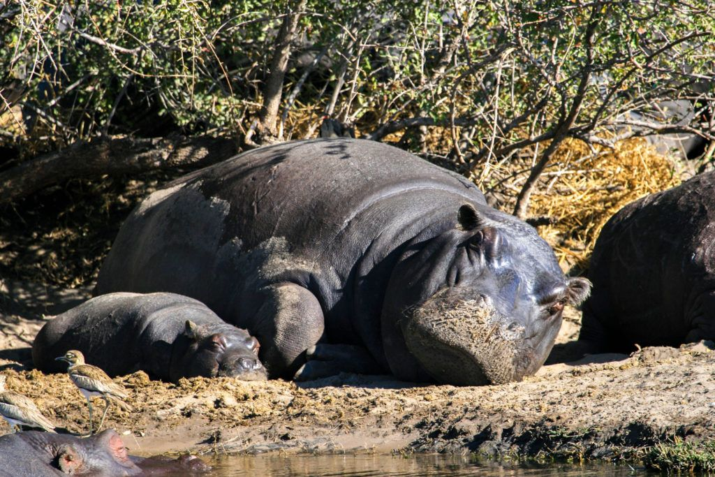 During our safari drive in Botswana, we encountered this sweet scene of an adult and baby hippo sleeping on the sand.