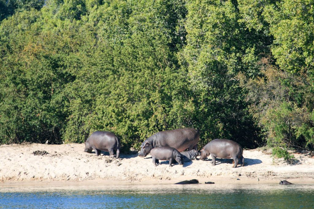 Family of hippos on the beach of the Zambezi River, Zambia.