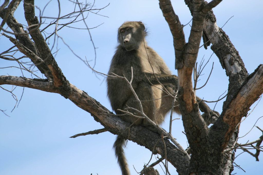 Chacma baboon sitting in a tree in Namibia keeping a lookout for predators.
