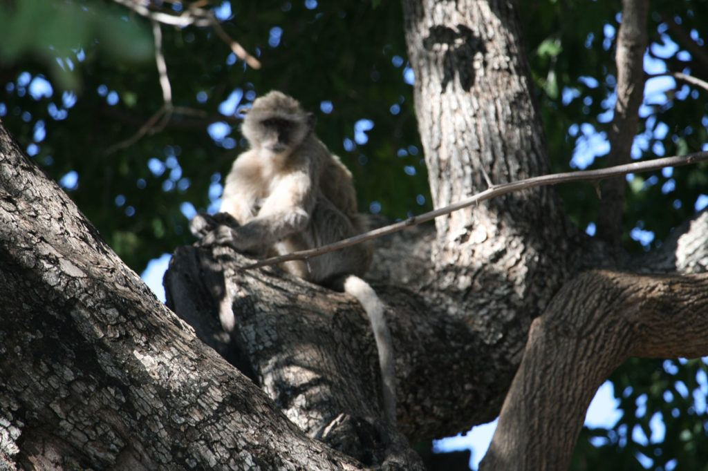 A Macaque Monkey sitting in a tree.