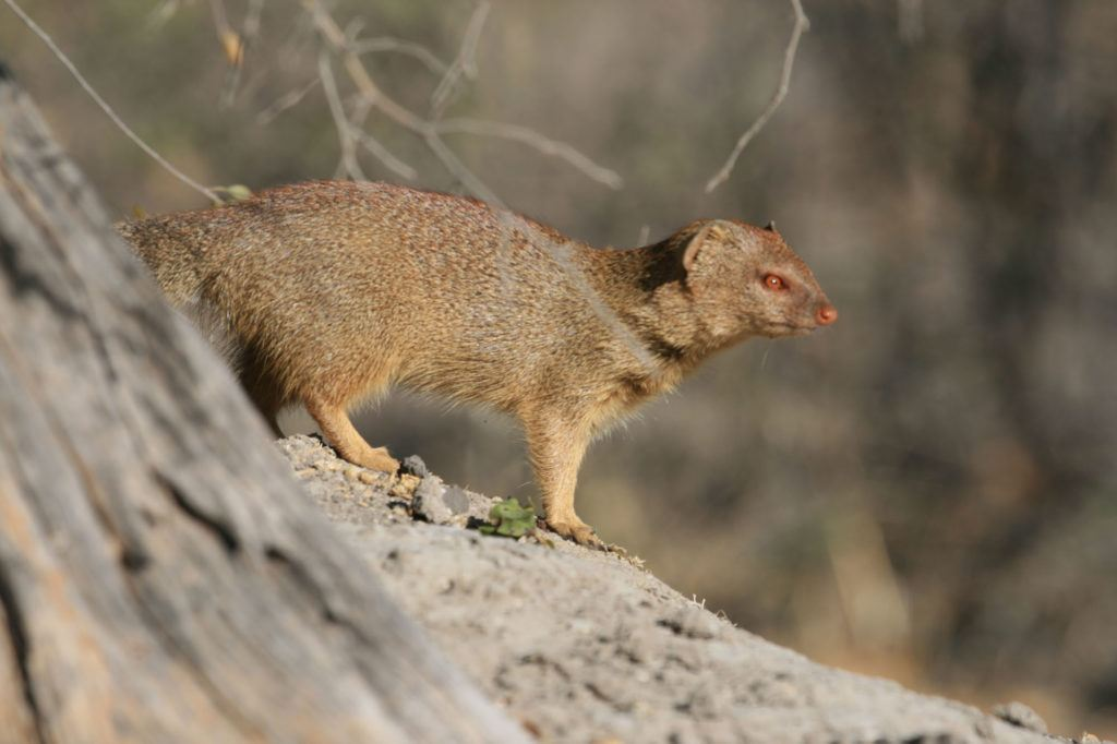 A mongoose with reddish-brown eyes in Botswana.
