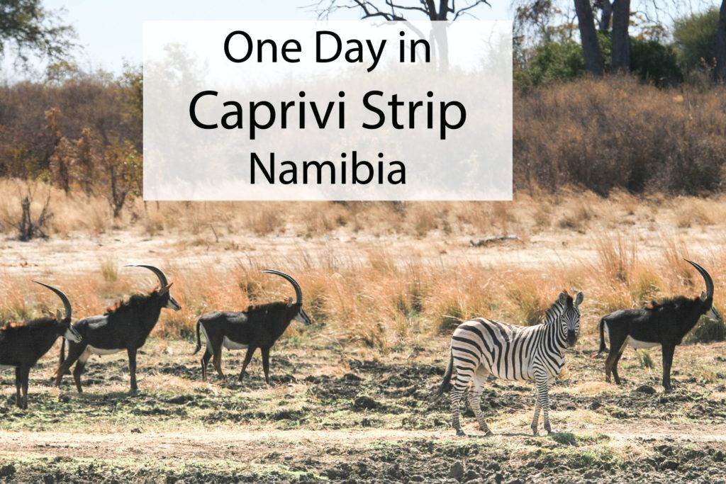 Group of four sable antelope and a zebra in the Zambezi Region, Namibia.