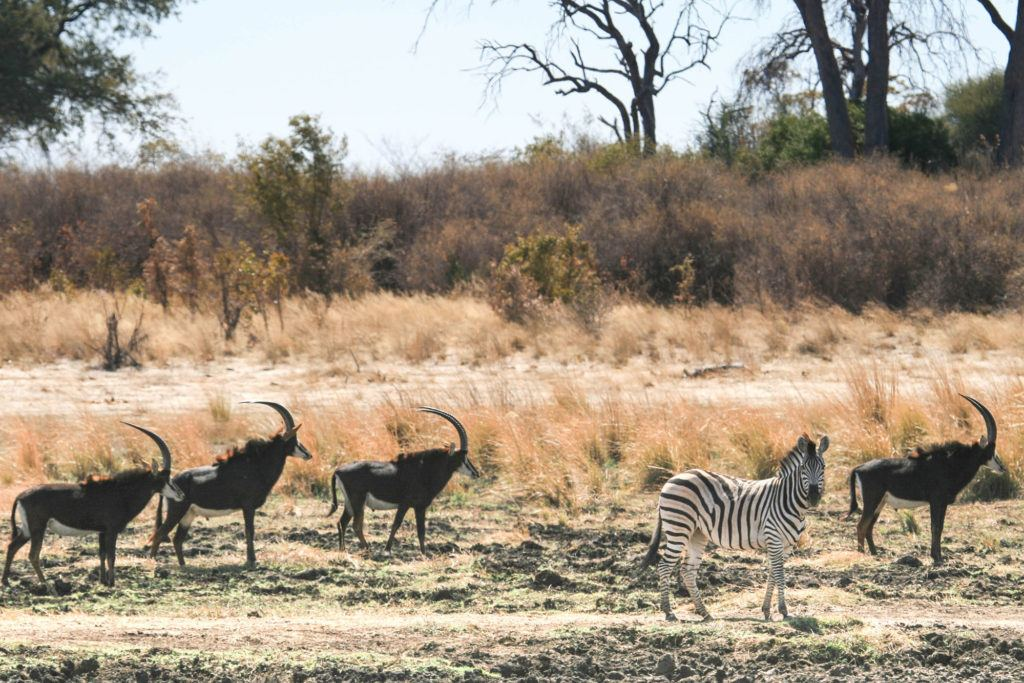 Encountered this group of four sable antelope and one zebra during our one day on the Caprivi Strip Namibia.