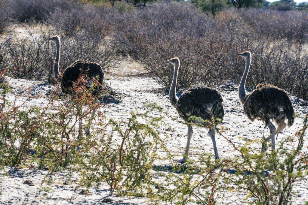 A trio of ostriches.
