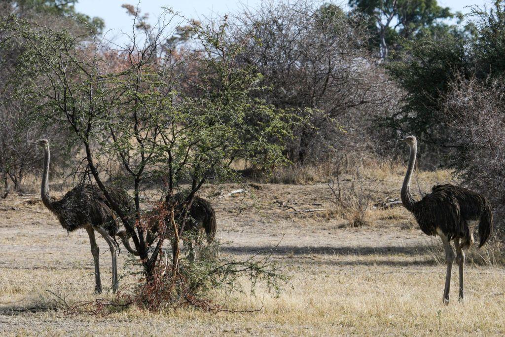A trio of ostriches in the Caprivi Strip, Namibia.