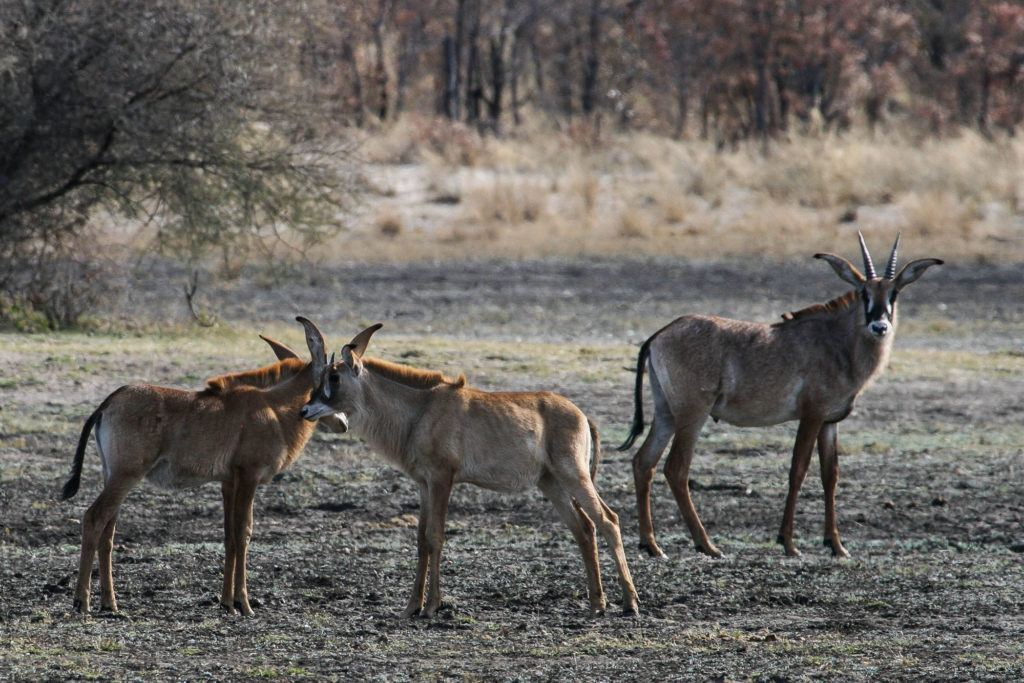 A group of four roan antelope in the Caprivi Strip, Namibia.