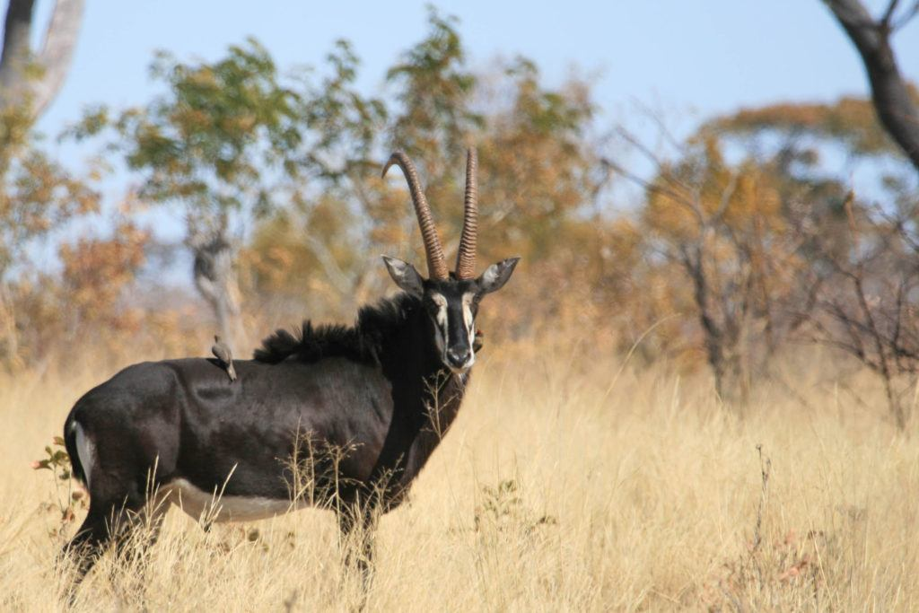 A sable antelope in the Caprivi Strip, Namibia.