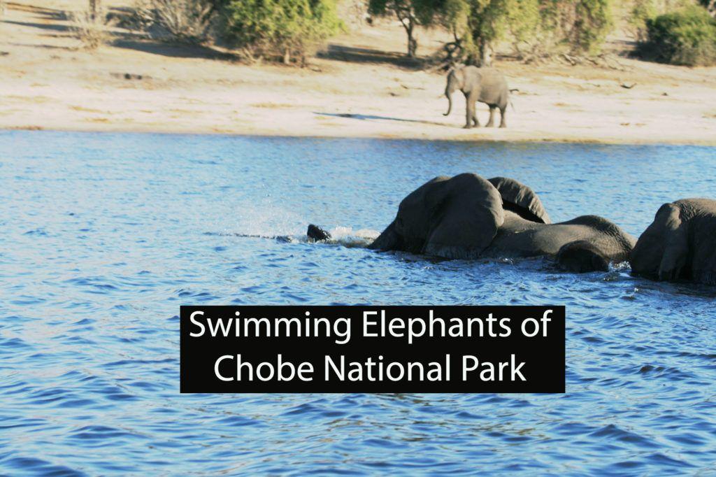 Swimming Elephants of Chobe National Park Botswana