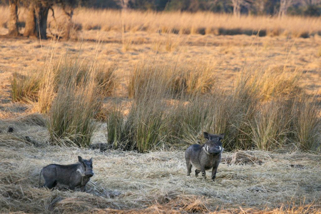 Two warthogs in Mosi-oa-Tunya National Park.