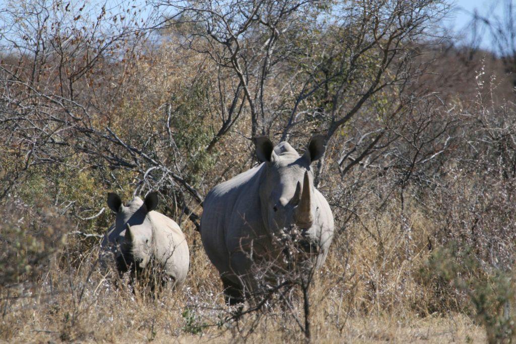 White Rhinos, like these at the Khama Rhino Sanctuary, are the most popular safari animals.
