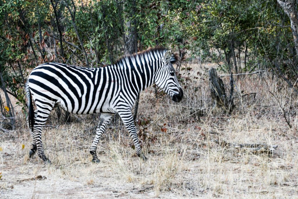Zebra walking by us on our Mosi-oa-Tunya National Park safari.