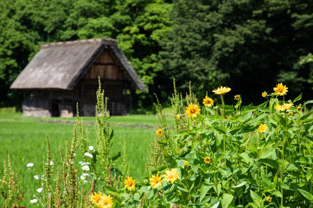 A thatched roof house and rice paddy in the gasho zukuri village of Japan.
