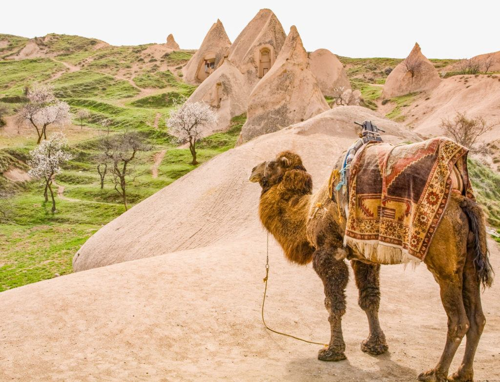A camel overlooks a cluster of fairy chimneys in Capadocia.