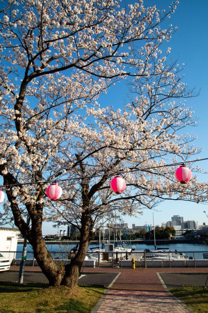 Hanami lanterns adorn an old tree by the small port in Yokosuka.