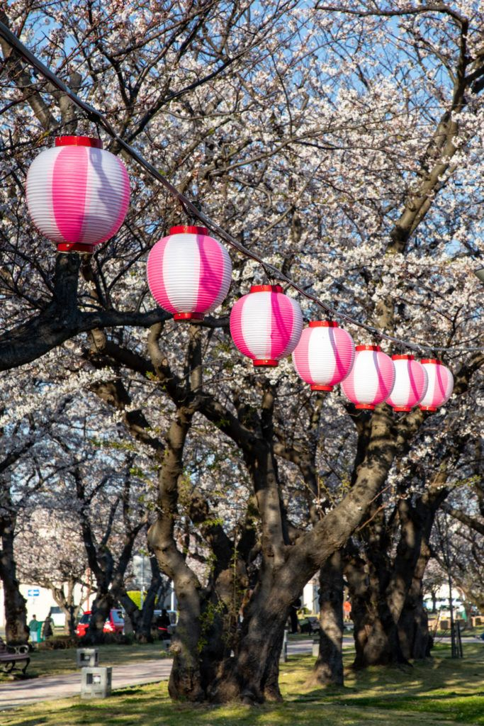 Pink and white lanterns are popular festival lights during the hanami season.