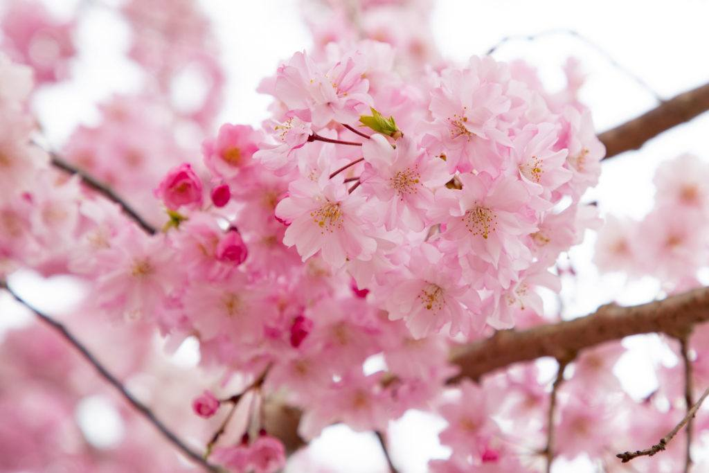 Freshly bloomed cherry blossoms.