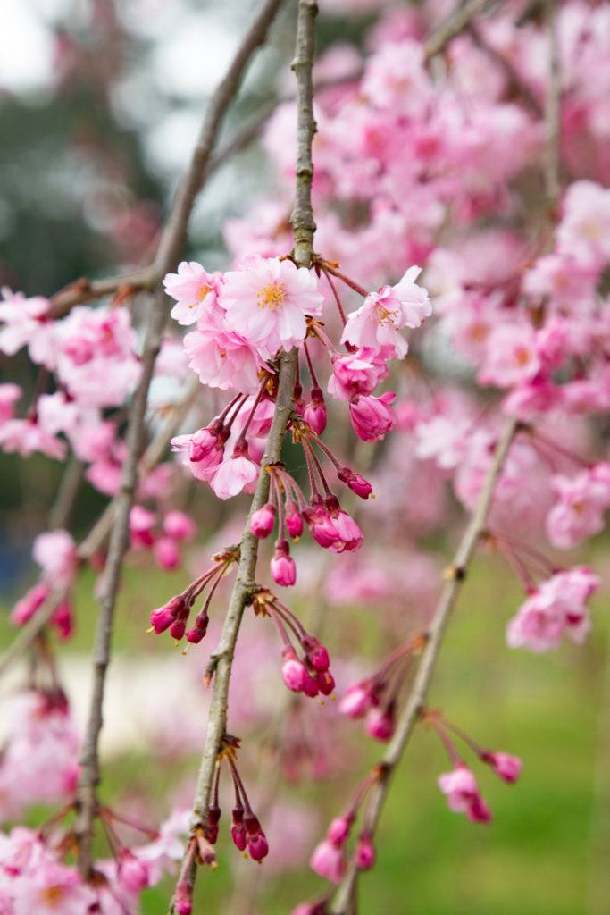 Weeping cherry blossoms.