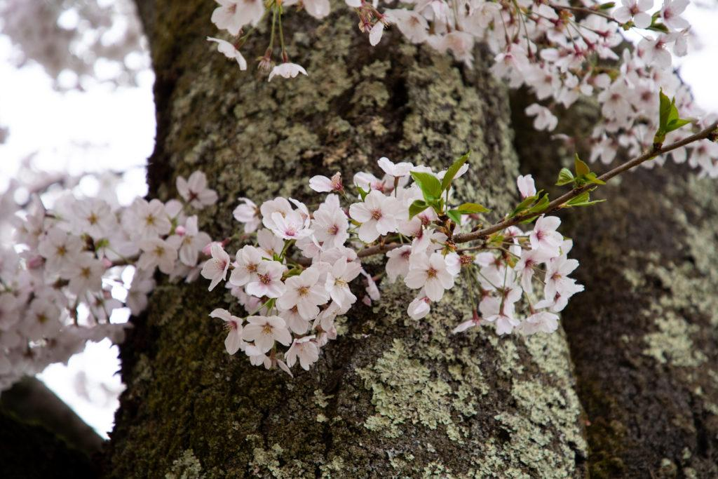 The delicate cherry blossoms and the tough cherry tree wood covered in lichen.