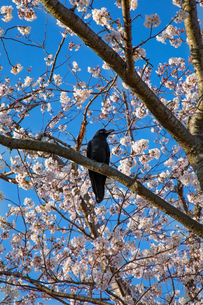 Even the birds love a good cherry tree.