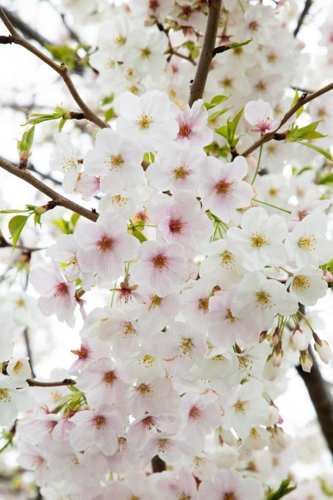 Somei-yoshino cherry blossoms.
