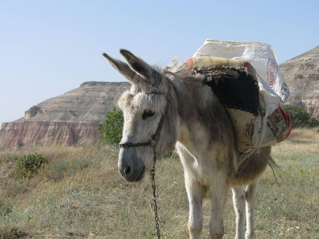 A gray donkey standing on the rim of Rose Valley, Kapadokya.