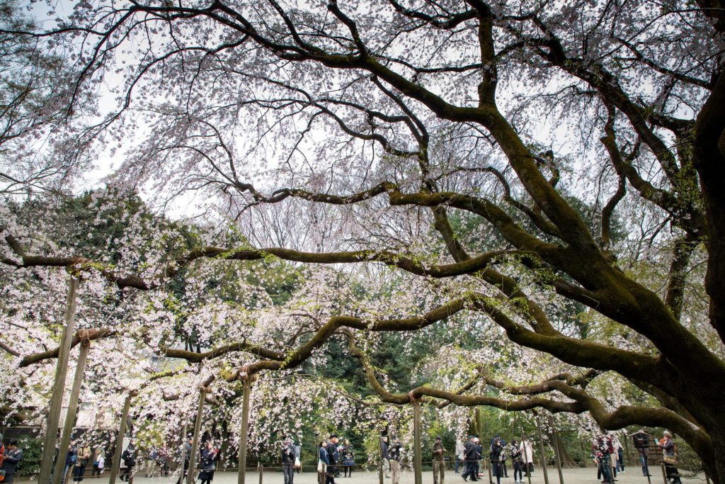 This is a famous cherry tree in Tokyo at the Rikugi Garden.