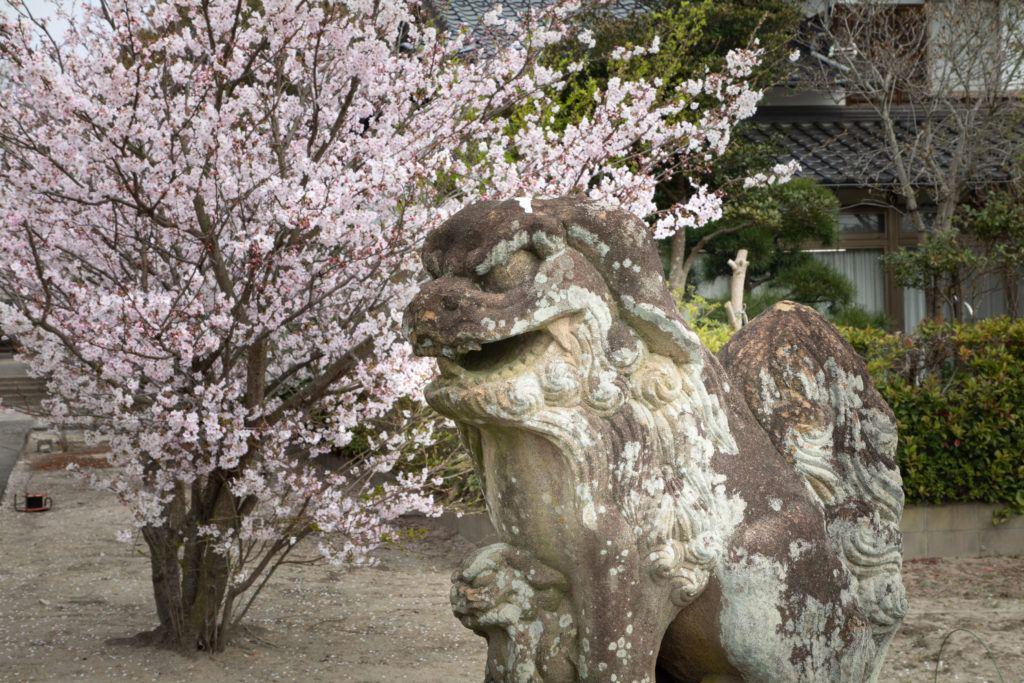 A temple guardian dog also enjoys hanami.