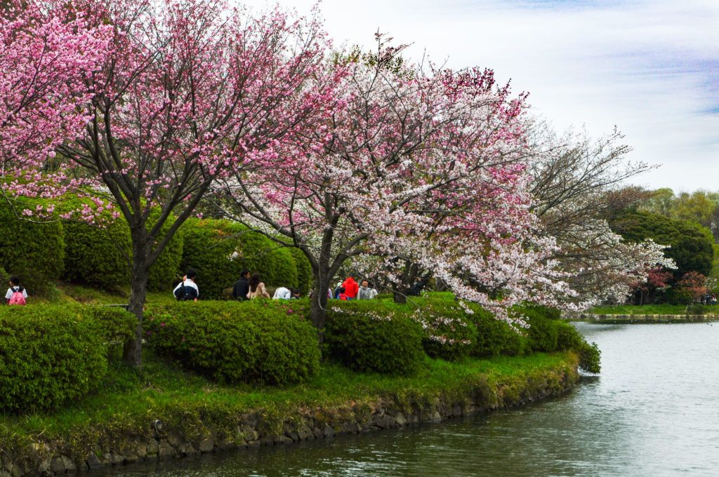 Sankeien Garden in Yokohama has beautiful sakura watching by the water.