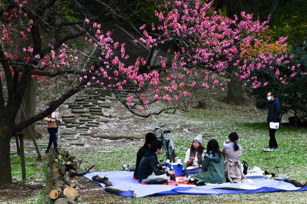 Hanami picnics are popular under the beautiful cherry blossoms.