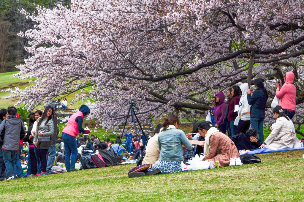 When having a hanami picnic, try to get as close to the tree as possible.