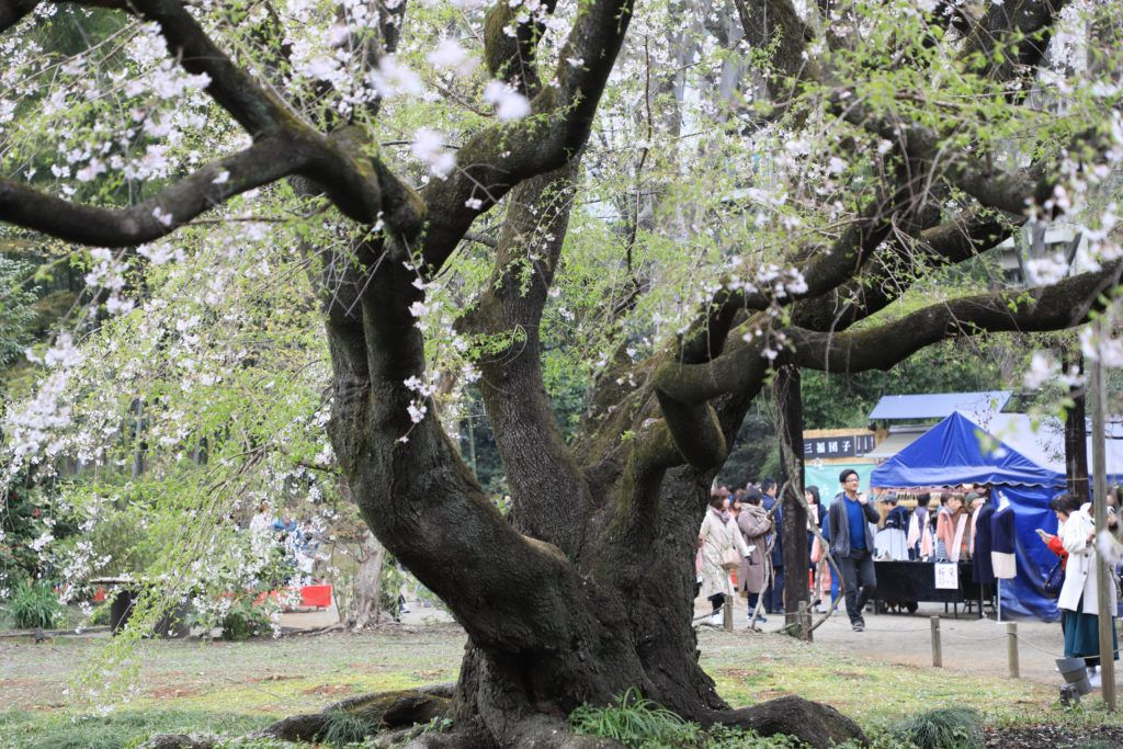 A revered and famous cherry tree in Tokyo with the souvenir booths set up behind it.