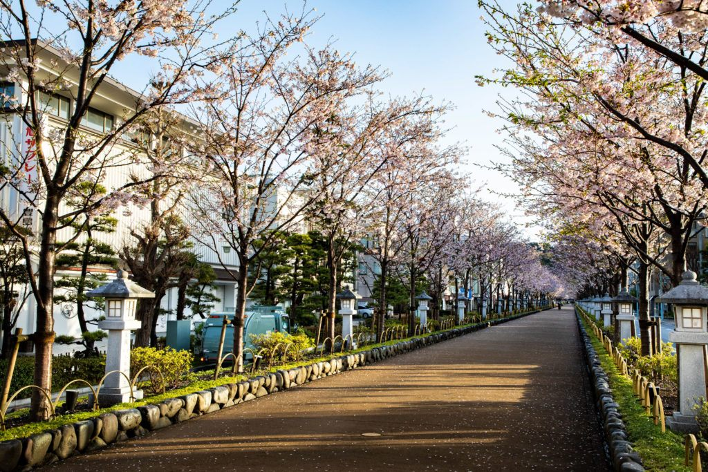 The season of sakura blossom has arrived in Kamakura, with the elevated walkway lined with them.