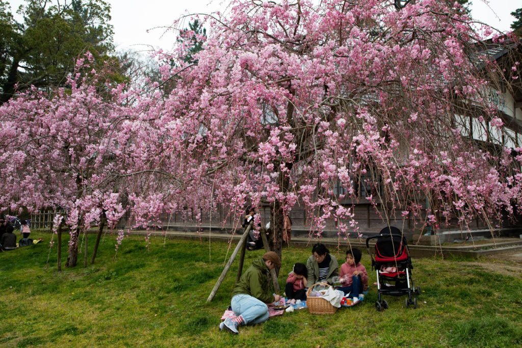 Vibrant cherry blossoms are the perfect place to have a family picnic in spring.