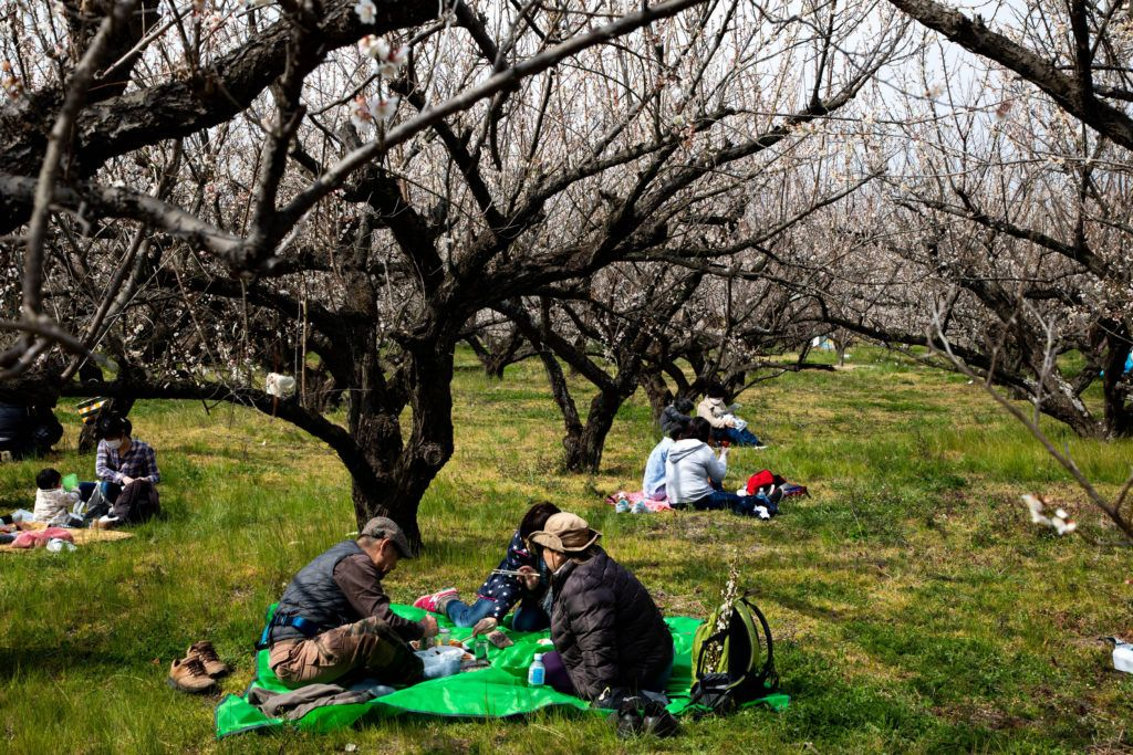 People having a picnic under the plum blossoms in Odawara in March.