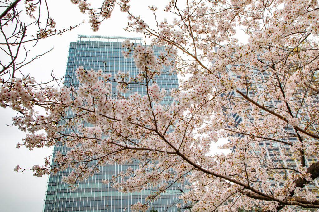 Hanami season in Tokyo.