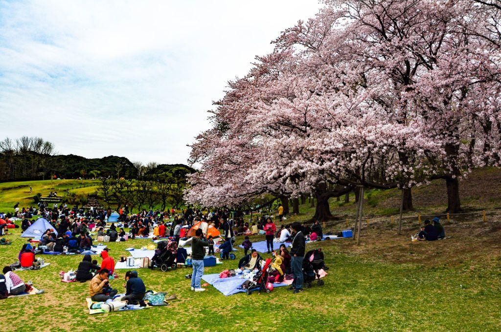 Hanami in Japan is a social affair.